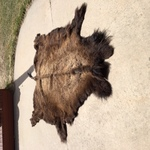 Beautiful Buffalo Robe, Bison, bison, entire tail